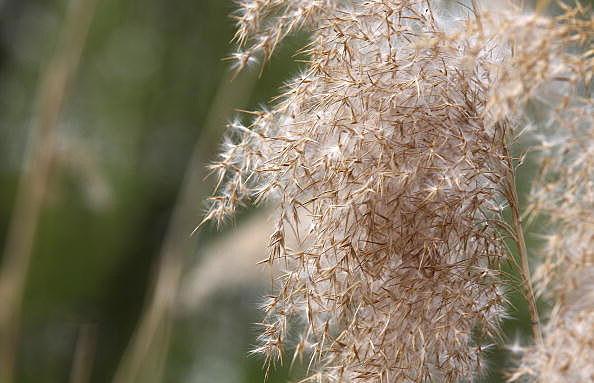 pollen hay fever